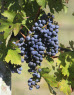 In Defense of Cabernet Franc